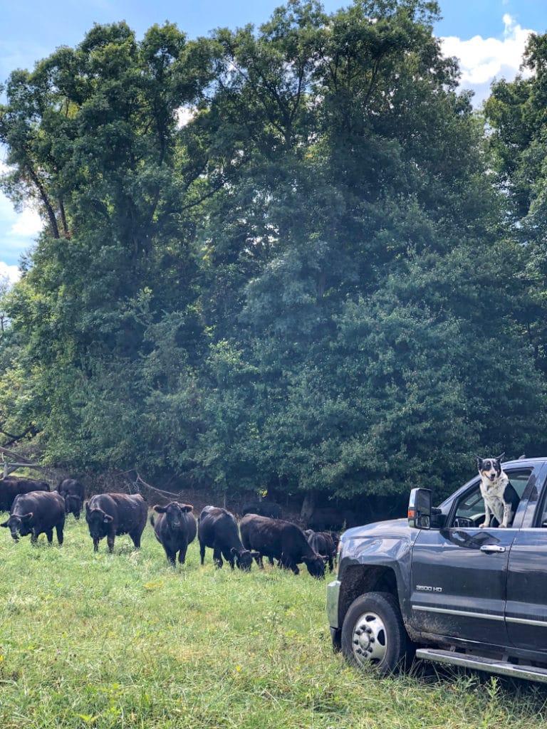 beef cattle farm in Ohio