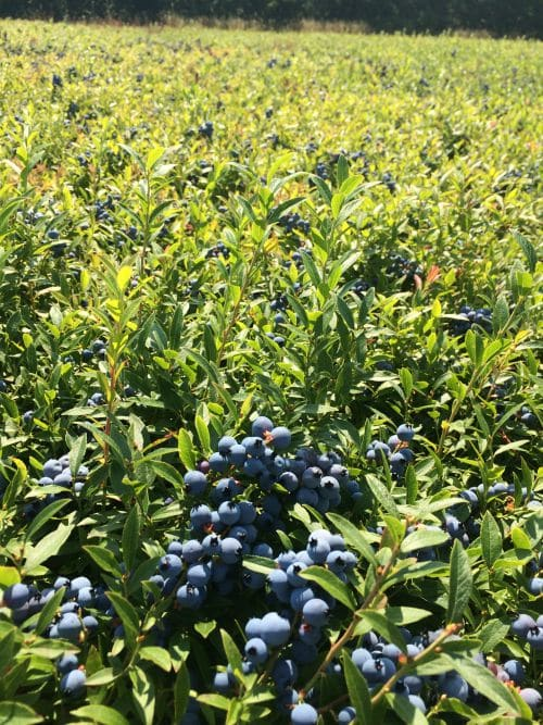 Pictures Of Wild Blueberries